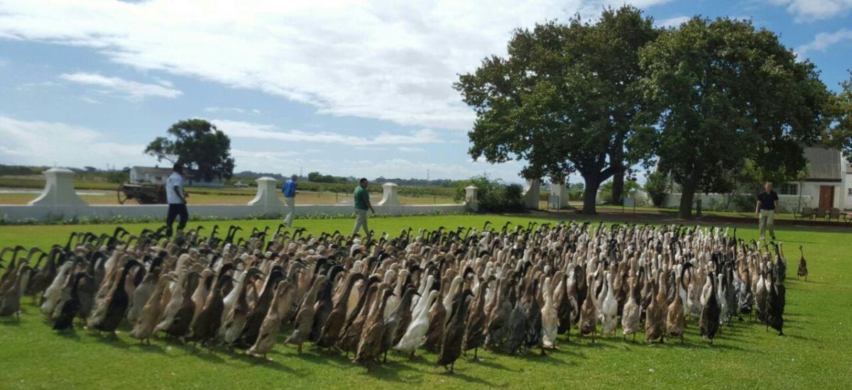 Ducks earn their keep atVergenoegd